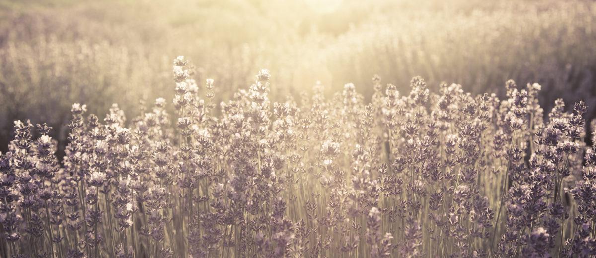 Morning sun rays shining down on purple field of lavender.