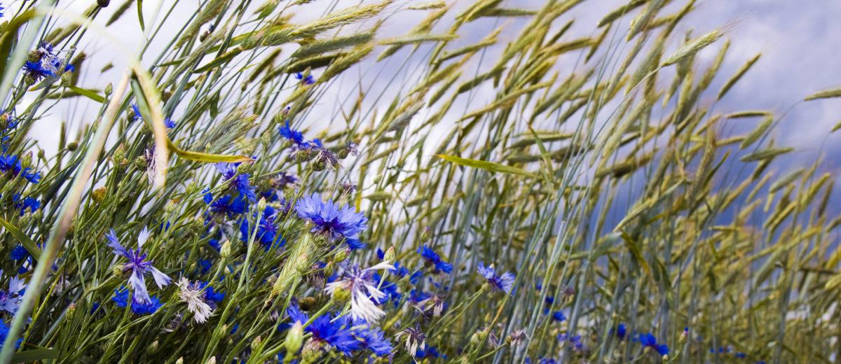 cornflower, blue, barley, cornfield, field, sky, dark, boundary ridge, edge of the field, wind, windy, clouds, oblique