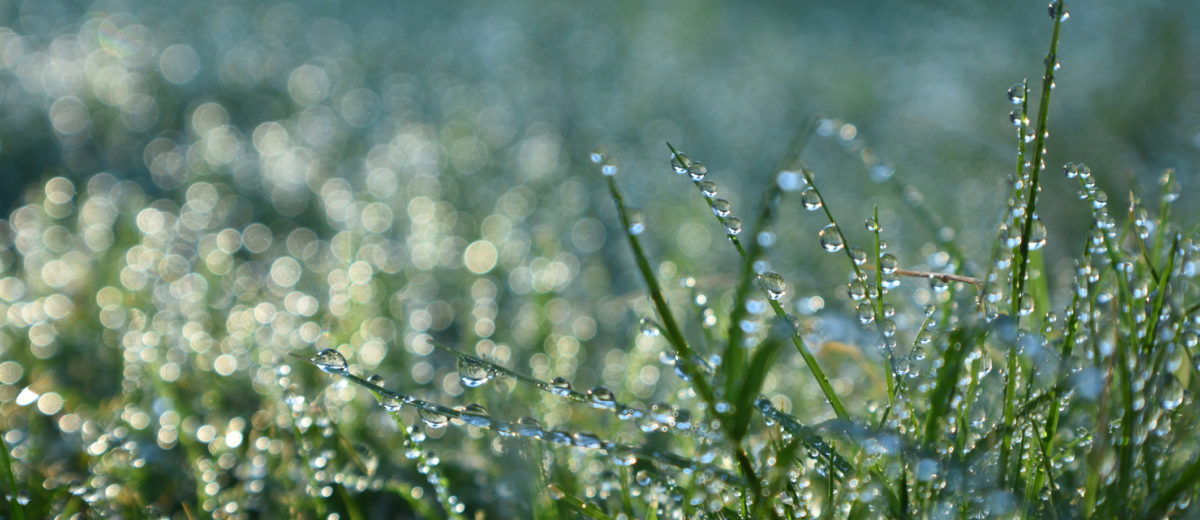 Wet grass sparkles, glimmers, glistens, and shines in the morning sunshine.